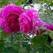 Location: Riverview, Robson, B.C.Date: 1997-06-28- A fragrant beauty.
