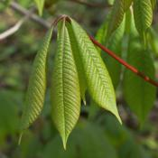 Location: Nichols Arboretum, Ann ArborDate: 2012-04-17Aesculus parviflora - Young leaves.  Check out the red