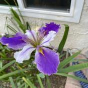 Date: 2021-03-22Does anyone know what type of iris this is? (It's ove