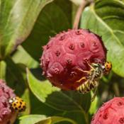 Location: Hidden Lake Gardens, MichiganDate: 2013-10-09Wasp and ladybug feeding on Cornus kousa fruit #insects