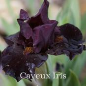 Image courtesy of Cayeux Iris