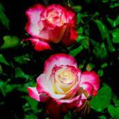 Location: Near Napa Valley (Northern California)Date: 2021-04-12First hybrid tea rose in 2021 from my 9b garden.