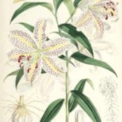 Date: c. 1880illustration by W. H. Fitch from Elwes' 'Monograph of the Genus L