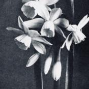 Date: c. 1948photo from the Spring 1948 issue of the Brooklyn Botani