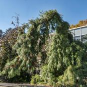 Location: Hidden Lake Gardens, MichiganDate: 2020-10-31Pinus strobus 'Pendula' - This is a fairly extreme case of a stro