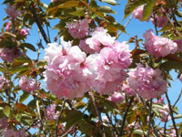 Spring flowering trees for urban gardens garden flowering cherry prunus spp famous for its early spring bloom double flowered varieties have fewer flowers but hold blossoms for longer periods mightylinksfo