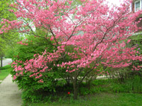 Spring Flowering Trees For Urban Gardens Garden Org