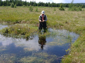 Ponds in this restored bog are essential to the development of peat.