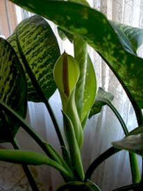 If your dumb cane (also known as dieffenbachia) flowers, you're doing lots of things right.