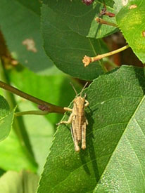 Grasshoppers Top My Most-Wanted List - Garden.org