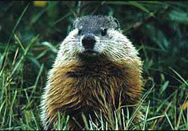 Woodchuck burrows can be hard to plug because they have more than one entrance.