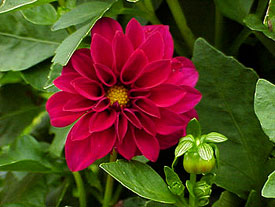 In cold regions, dig dahlia tubers when frost blackens the foliage, and store them in a frost-free place until spring.