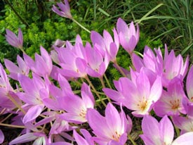 Autumn-crocus.jpg