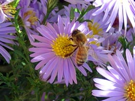 A honeybee lands on Smooth Aster.