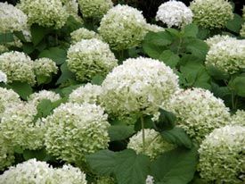 'Annabelle' hydrangea and other big-leaf hydrangeas can be moved without much trouble.