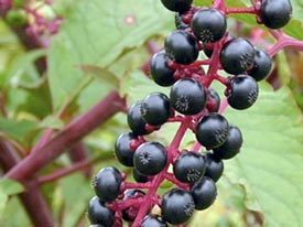 Pokeweed has invasive tendencies when spread by birds.