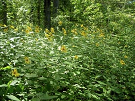 woodland-sunflower.jpg